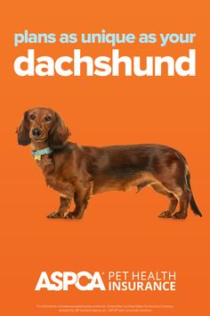 Every breed has different health needs. ASPCA Pet Health Insurance plans were designed with the needs of Dachshunds in mind. Return to your quote today to view customized plan options for your pet. Health Insurance Plans, Pet Insurance, Health Care Coverage, Wiener Dogs, Dachshunds, Dog Cat, Quote, Pets, Fun