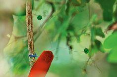 NG - Pássaro Cicinnurus regius na floresta tropical da Nova Guiné