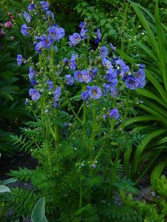 Polemonium Bambino Blue