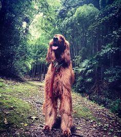* 雨が降りそうな空 早い時間に いつもの公園を 違うまわりでお散歩 . . . #森 #公園散歩 . #アイリッシュセター #アイリッシュセッター #大型犬 #会いたい #杏奈 #成長 #3歳 #愛犬 #しあわせ #イヌスタグラム  #irishsetter #instasetter #irishsetteroninstagram#irishsetterlove #irishsetterofinstagram #love#dogsandpals #setter #instadog #lovely#mylover #ilovemydog #happydog #happy