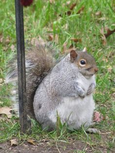 And, here's a fat squirrel for ya.