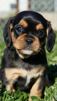 PUGALIER - Pug/Cavalier hybrid. What's brown black & cute all over?? THIS GUY:)!! #pugmix Little Puppies, Little Dogs, Cute Puppies, Dogs And Puppies, Pug Mixed Breeds, Dog Breeds, Pet Dogs, Dog Cat, Pets