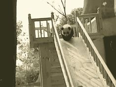 Osos Panda Divirtiéndose. #osos #osospanda #pandas #fondosanimadosdivertidos #imagenesanimadasdivertidas