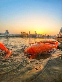 Golden Temple Amritsar Punjabi Culture, India Culture, Guru Granth Sahib Quotes, Harmandir Sahib, Golden Temple Amritsar, Water Architecture, Bhagat Singh, Sikh Quotes, Gurbani Quotes