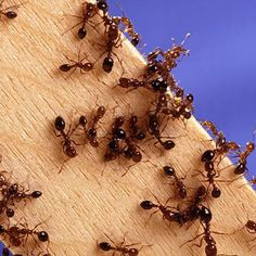 10 Ways To Kill Ants… Organically - SHTF Preparedness