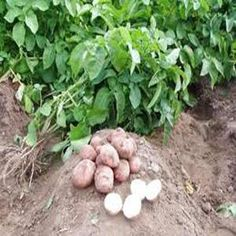 Como plantar batatas. O processo de plantar batatas será bem simples se seguir os conselhos que lhe propomos a seguir. A plantação de batatas fornece resultados incríveis, uma vez que cada batata produz um grande número de...