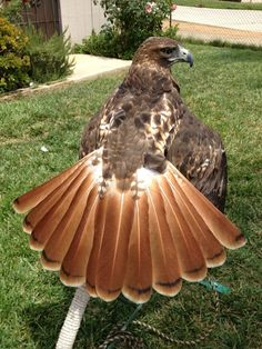 Red Tailed Hawk (this bird has such a beautiful and perfect tail. to bad it'll ruin it once it starts flying)