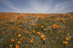 Antelope Valley Poppy Reserve ~ Lancaster, California