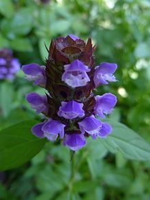 Prunella vulgaris (known as common self-heal or heal-all) is a common weed in many lawns. The sprawling plant has pretty little flowers of blue or purple, but  I like to make a tea out of the leaves for a sore throat. They can also be eaten in salads or cooked too. The plant contains vitamins A, C, and K, as well as flavonoids and rutin.