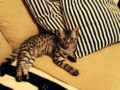 breeder of British shorthair black silver tabby and spotted kittens cats British Shorthair, 4 Months, Cats And Kittens, Black Silver, Daughter, Animals, Animales, Animaux, Animal