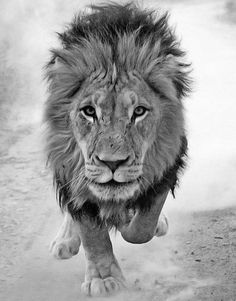The lion king: The leader of the pride runs towards the Chris Weston's camera. He had spent six weeks gaining the trust of the big cats Beautiful Creatures, Animals Beautiful, Cute Animals, Wild Animals, Beautiful Images, Top 10 Deadliest Animals, Wildlife Photography, Animal Photography, White Photography