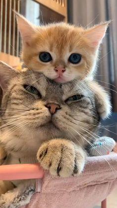 Funny Cute Cats, Cute Baby Cats, Cute Cat Gif, Cute Little Animals, Cute Cats And Kittens, Cute Funny Animals, Kittens Cutest, Cute Dogs, Cute Cat Video