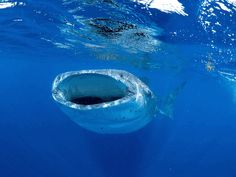 Dr. Simon Pierce (@Simon Pierce) is a marine biologist extraordinaire focusing on whale sharks.
