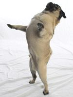 Dancing Winston!  Haha why do pugs love to dance so much?  You can be sure food is involved!