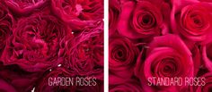 Roses - a popular flower for weddings! Learn more about the difference between Garden Roses vs. Standard Roses - on the Flower Muse blog.