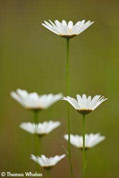 My favorite flower Shasta Daisies...