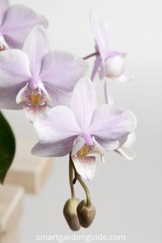 Garden Flowers - Annuals Or Perennials Phalaenopsis Orchid Care. Orchid Care For Beginners. Get the hang of Everything You Need To Know About Growing And Looking After Phalaenopsis Orchids At Phalaenopsis Orchid Care, Moth Orchid, Orchid Plants, All Plants, Cactus Plants, House Plants, Potted Plants, Container Gardening Vegetables, Succulents In Containers