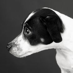 dansk-svensk-gårdshund black and white dog