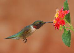 Ruby-throated hummingbird feeding on Lantana 'Red Spread'