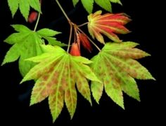 Acer shirasawanum Moonrise ... 8-12' h x 7-10' w; leaves bright red in spring; takes full sun