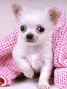 pictures of chihuahuas | Teacup Chihuahua » 65129973_2-Adorable-teacup-chihuahua-puppies ...