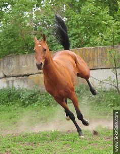 Akhal-teke horses for sale - Farshad(Shakhid - Fariza)