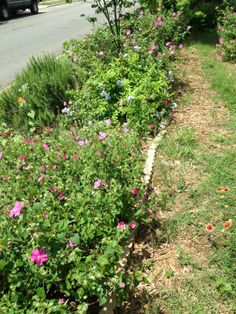 Texas natives and adapted plants: view of side yard along upper path. Plants are Pavonia rock rose, cape plumbago, Rosemary, Salvia greggii, Redbud tree, blanket flower. We put mulch on path; but grass and other plants are growing as well.