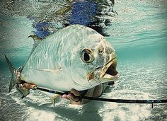 Fly Fishing Desroches Seychelles for Bonefish and Permit | Awesome shot of a Permit