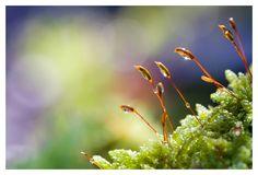 Dream Of Moss water, nature, macro, bokeh, gold, green, canon, little, 100mm, dream, close up, lens, moss, balls, 2.8, creamy, l, drop.