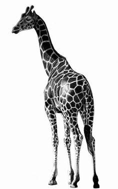 Exciting Learn To Draw Animals Ideas. Exquisite Learn To Draw Animals Ideas. Realistic Pencil Drawings, Animal Drawings, Art Drawings, Realistic Sketch, Drawing Animals, Giraffe Drawing, Giraffe Art, Tattoos For Guys, Cool Tattoos