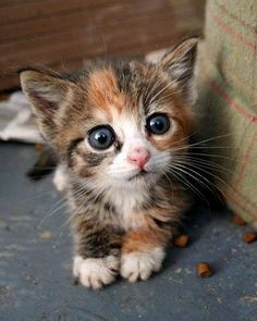 Brown and white kitten with a beautiful face!  ♥