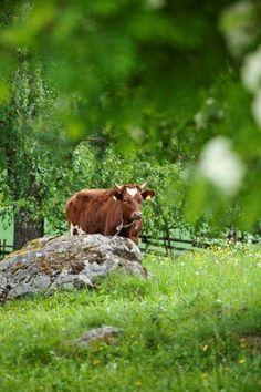 . lehmä luonnossa