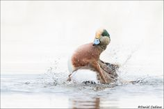Bathing American Wigeon by Daniel Cadieux on -- a great photograph! Nice how the duck takes centerstage with its colors (and white all around) and with his antics! Aquatic Birds, Animals And Pets, Bathing, American, Photograph, Nice, Colors, Animals, Pets