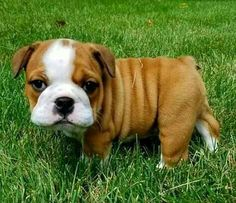 English bully wants to say hello Cute Little Animals, Baby Animals, Funny Animals, Adorable Animals, Pug Puppies, Cute Animal Pictures, Funny Pictures, More Cute, Say Hello