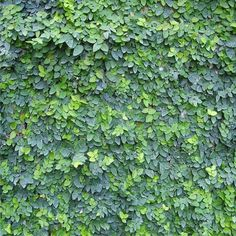 Ficus Pumila (Creeping Fig) (Climbing Fig)