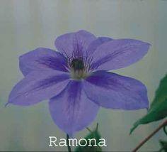 Clematis Ramona. June-Sept. 15'. Pruning group B2