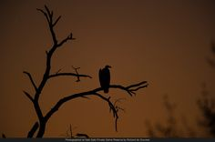 A vulture roosts in a dead tree as the fading sunset creates the perfect backdrop.