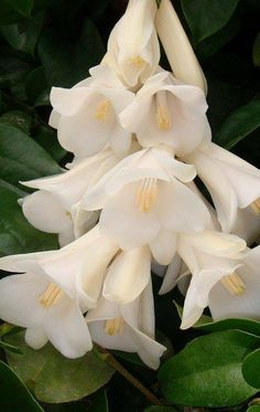 White Lapageria Chilean Bell-flower