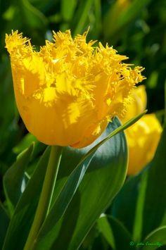 Fringed Tulip.