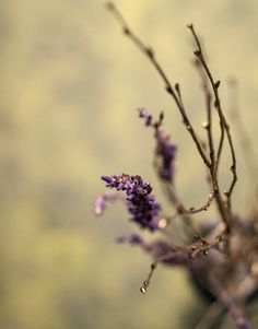 Lavender and Gold by VinaApsara on DeviantArt Dandelion, Lavender, Deviantart, Flowers, Plants, Gold, Photography, Photograph, Dandelions