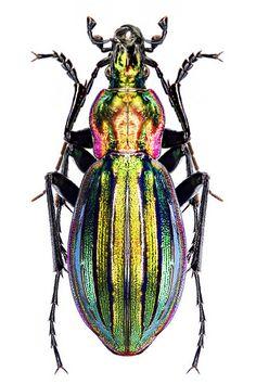 Carabus Eucarabus Obsoletus