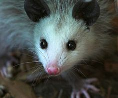 Yes, we had a pet possum! His name was Bendy!
