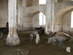 Seeing pigs and cows wandering around inside a mosque was surreal Inside A Mosque, Ghost Towns, Surrealism, Wander, Religion, Cows, Painting, Animals, Modern