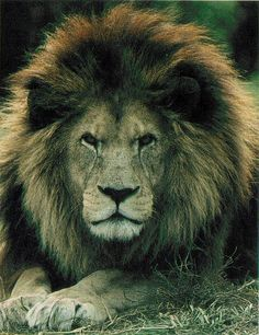 Barbary Lion, a subspecies of lions that is extinct in the wild.