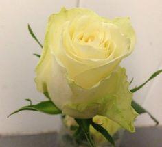 Rose - Athena -  Detter er en klassisk hvit rose som blir ofte brukt i brudebuketter og bårebuketter. Den hvite rosen er også et symbol på renhet og kjærlighet.