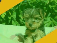 写真ムービー【ヨーキー子犬09/11生れメス『くらちゃん』 | york160911f051kpp】k02