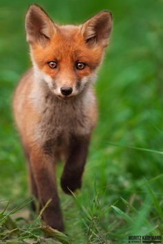 Cute young fox by Moritz Kaufmann on 500px*