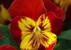 Panola Sunburst XP Pansy - Annual Flower Seeds