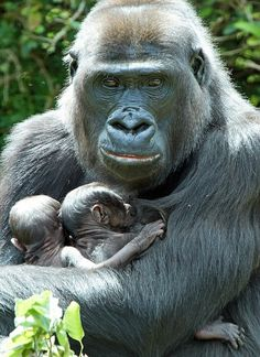 ** Gorilla mom with twins