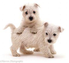Westie West Highland Terrier Puppy Dogs